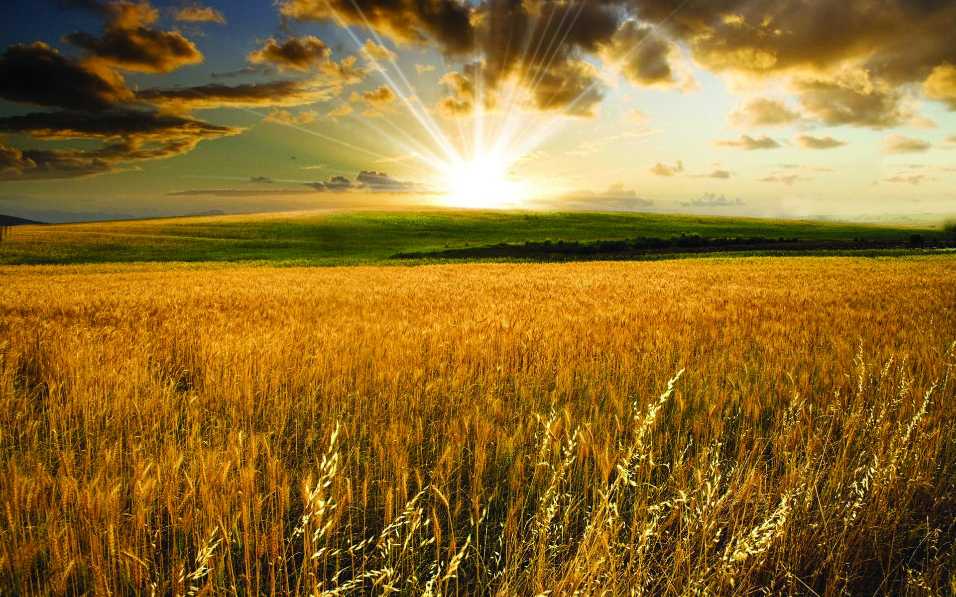 Wheat Field - Golden.jpg