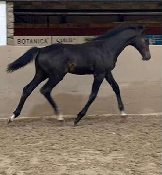 KILBRACKEN ELDORADO (Bay Colt)- Sire: Eldorado Van De Zeshoek, Sire of Dam: Cruising