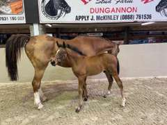 UNNAMED (Bay Colt)- Sire: Diamant De Semilly, Sire of Dam: Crusing