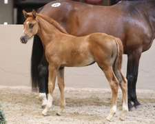 UNNAMED (Chestnut Filly)- Sire: Emerald, Sire of Dam: Cruising