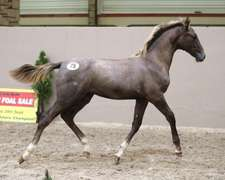 UNNAMED (Grey Filly)- Sire: Corporal VDL, Sire of Dam: Hornet Rose