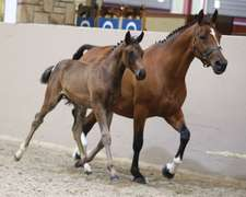 CREEVYQUINN BORRADO (Bay Filly)- Sire: Diarado, Sire of Dam: Argentinus