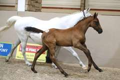 UNNAMED (Bay Colt)- Sire: Cartani, Sire of Dam: Duci Di Busted