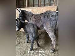"""Ann & Tommy - 7yr & foal - 33"""" - Mare"""