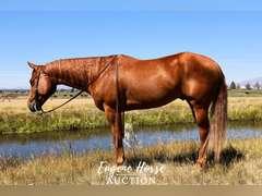 Fenchmans Wildchild - 3yr - 15.1HH - Gelding AQHA Appendix