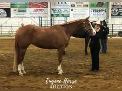 Mechan You Miss Me - 4yr - 15.2hh - Mare - APHA