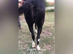 Bobbi Socks - 10yr - 13.2hh - Molly Mule