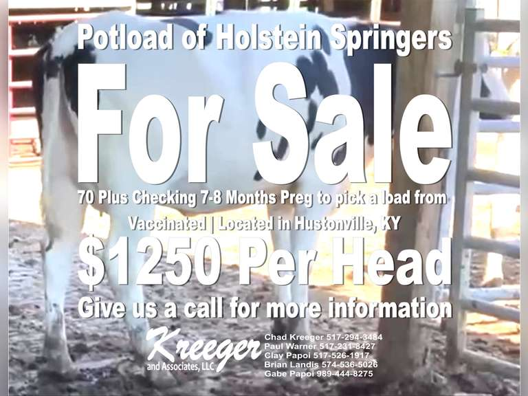 Pick a Pot Load of Holstein Springers (Kentucky) | 80+ Checking 7 Months Preg to sort from | 4 STAR Grower | For more Information call Chad Kreeger 517-294-3484 | Asking Price is $1250 per head