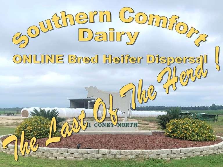 Southern Comfort Bred Heifer Dispersal