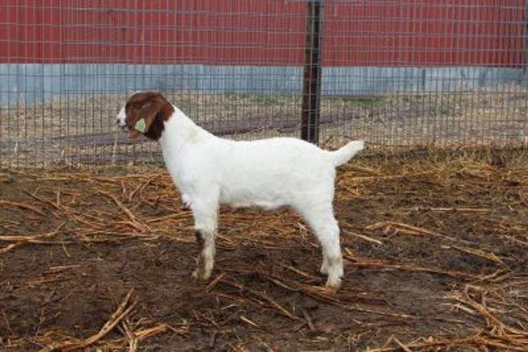 Lammers Boer Goats Online Auction