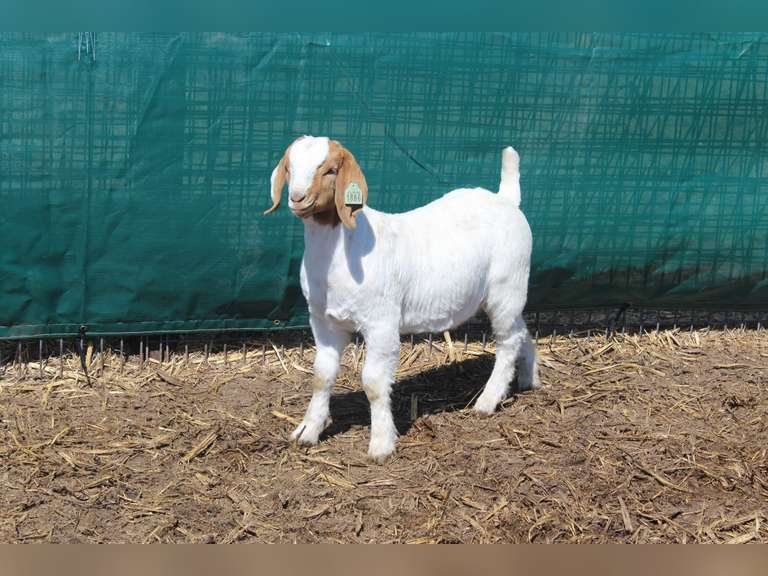 Annual Lammers Boer Goats Online Auction