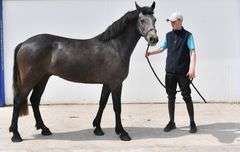 COOLRAINE CLIVE 2018 150 cm (without shoes) Grey Gelding