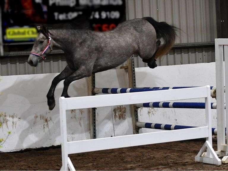 MINSTALL BOY 2018 147 cm Grey Gelding (Connemara)