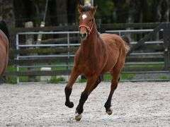 2021 (expected to make 16.2 hh approx) Bay Colt (IHR)