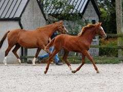 FINTRA FUTURE APPROACH 2021 Foal Chestnut Filly (IHR)