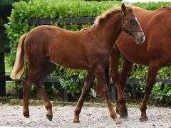 HILLSWOOD FARMS FLEXIBILITY 2021 168 cm Dark Chestnut Colt (IHR)