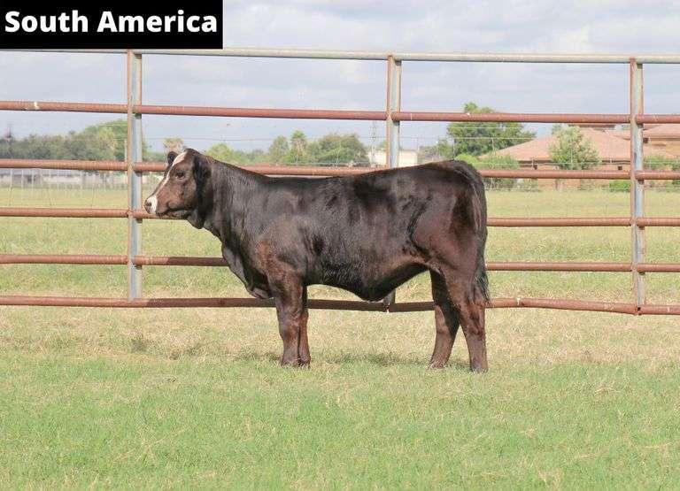 Pick of BroLaco Cattle Company Transformer x Scarlett Calves