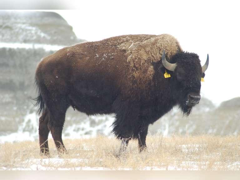 Dakota Dynamite Performance Tested Buffalo Simulcast Auction