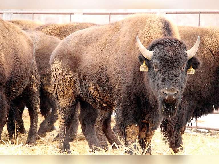 Dakota Territory Buffalo Assn. Young Guns Performance Tested Bison Bulls & Premier Heifer Simulcast Auction
