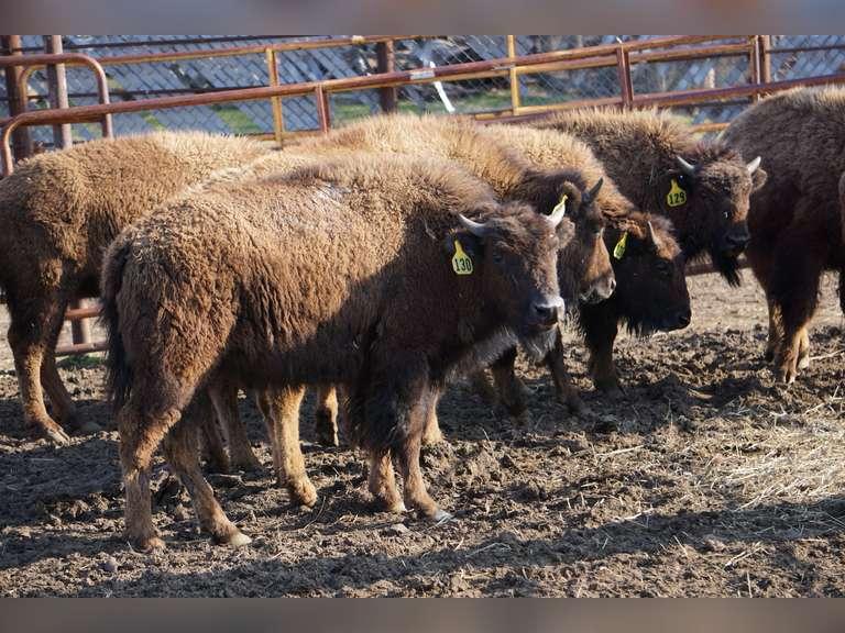 Carllson Bison Annual Production Auction