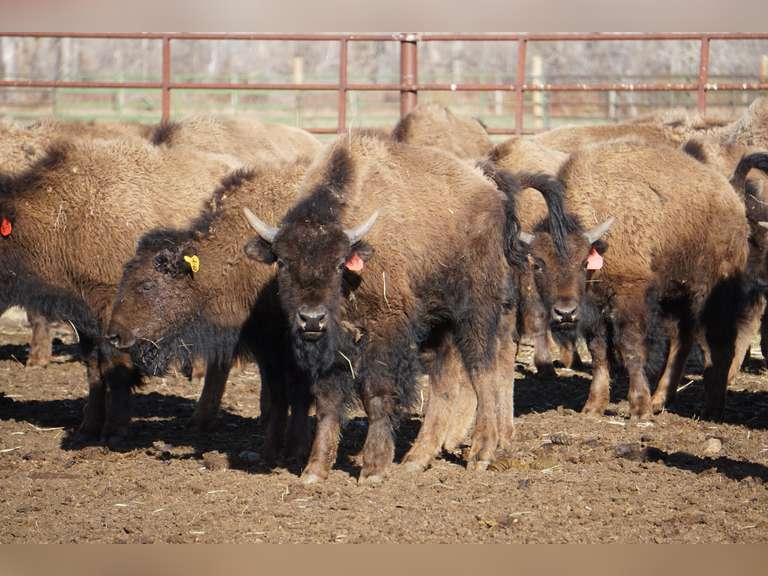 Blackfeet Tribe Buffalo Program Production Auction