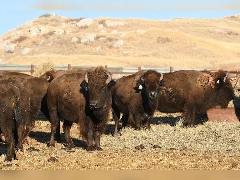 Prairie Legends Bison Webcast Auction