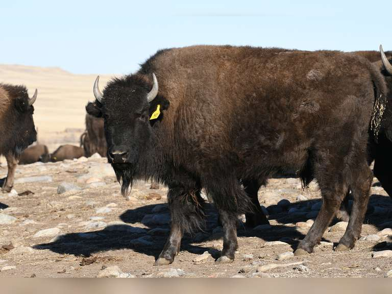 Northern Range Buffalo Simulcast Consignment Auction