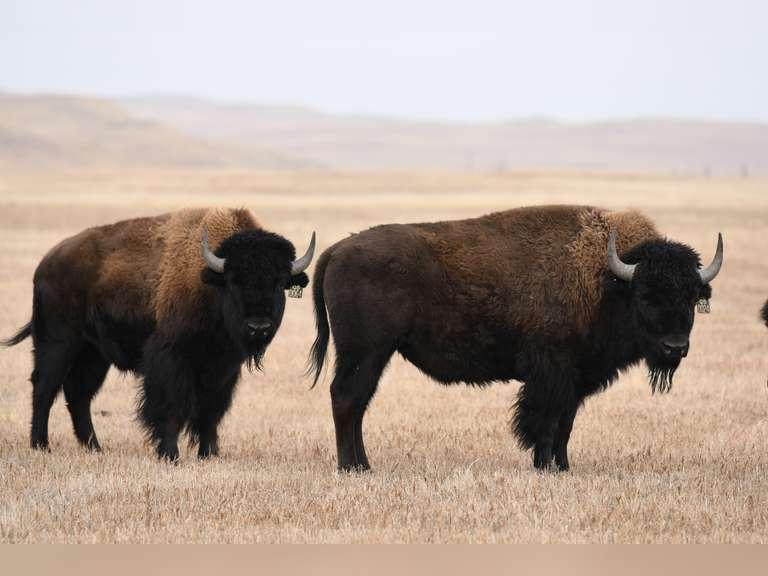 Turner Bison Exchange Prairie Performance Bison Auction