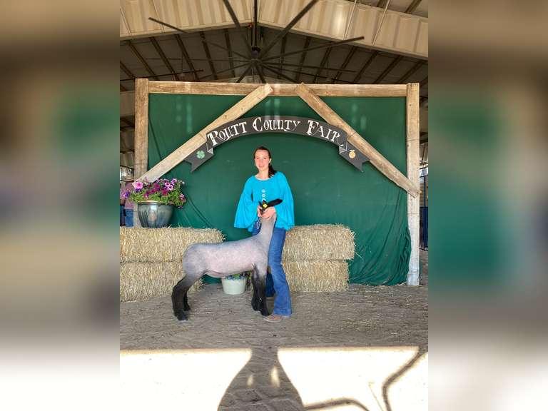 FFA  Scholarship Lamb